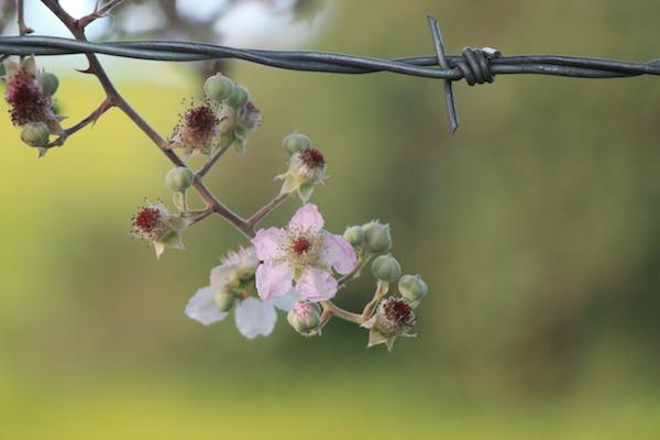 briar flower copy